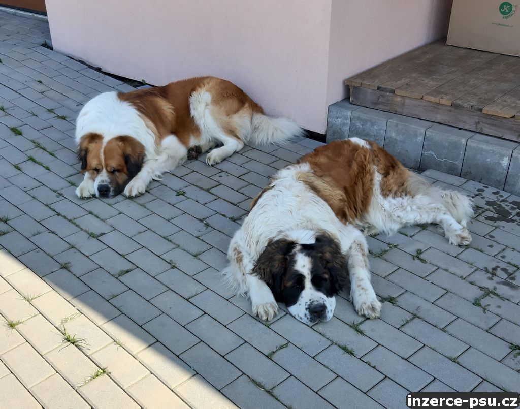 Moskevský strážní pes-rezervace štěňat FCI