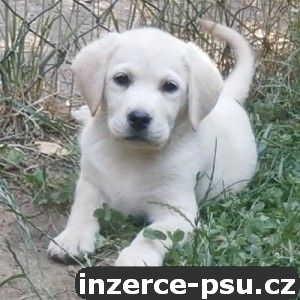 Labrador s PP světlá štěňátka k odběru