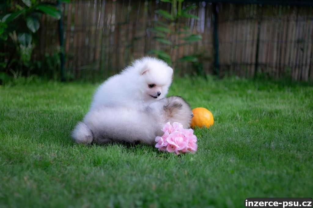 Pomeranian štěňátka s PP