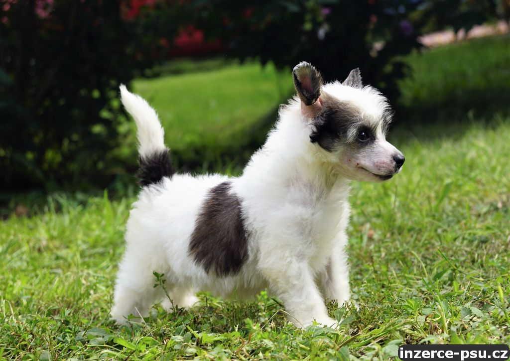 Čínský chocholatý pes s pp