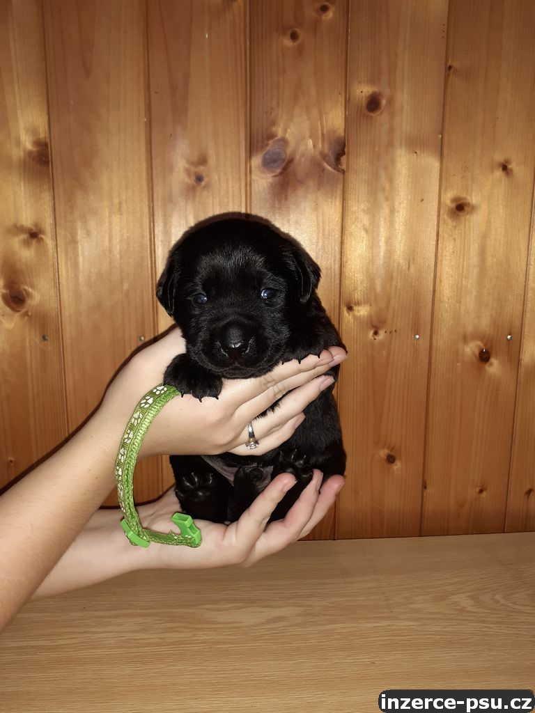 Černá štěňátka labradora s PP