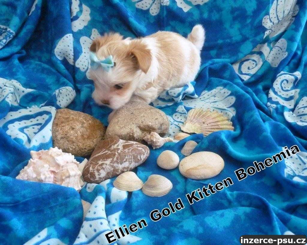 Yorkšírský Terrier Golddust s PP.