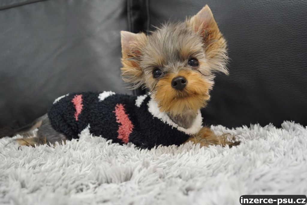 Fenečka Yorkshire Terrier Mini s PP