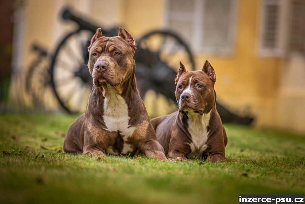 American bully XL, American pitbull XL