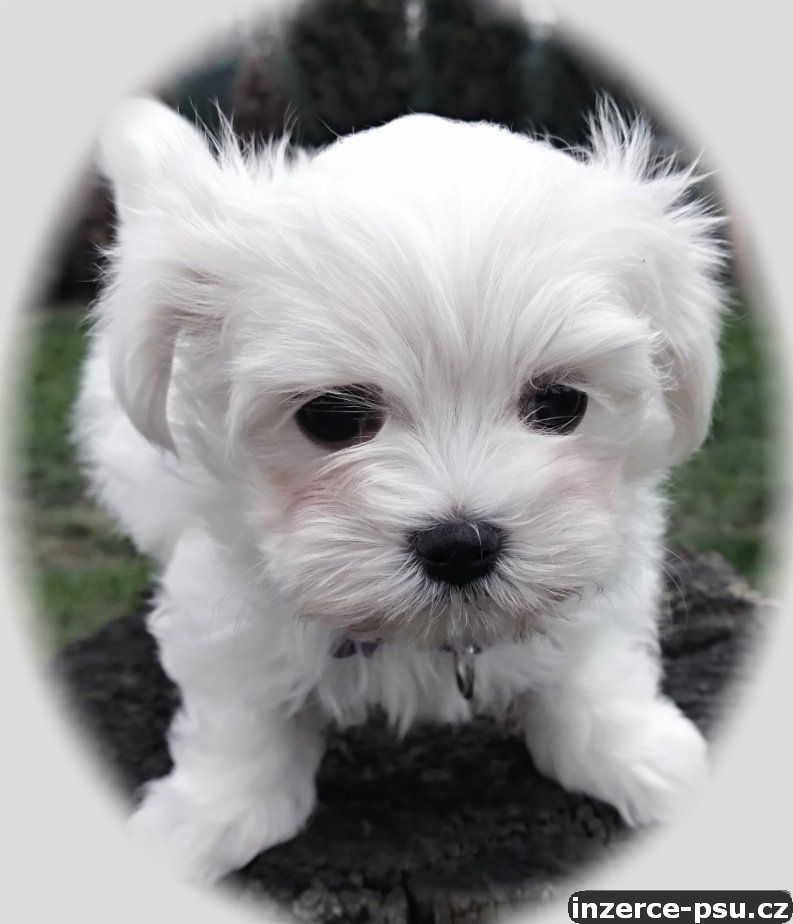 Maltézáček  - Maltézský psík s PP