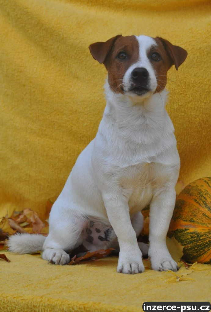 Jack Russell Terier s p.p.