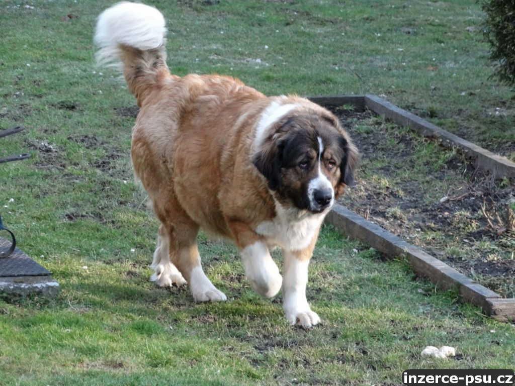 Moskevský strážní pes - štěňata bez PP
