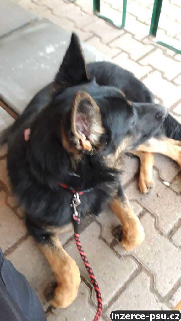 Prodám osmi měsíční štěně Německého ovčáka, fenku bez pp,pracovní linie.
