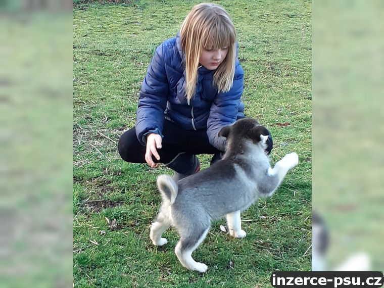 Prodám sibiřský husky štěňata s PP