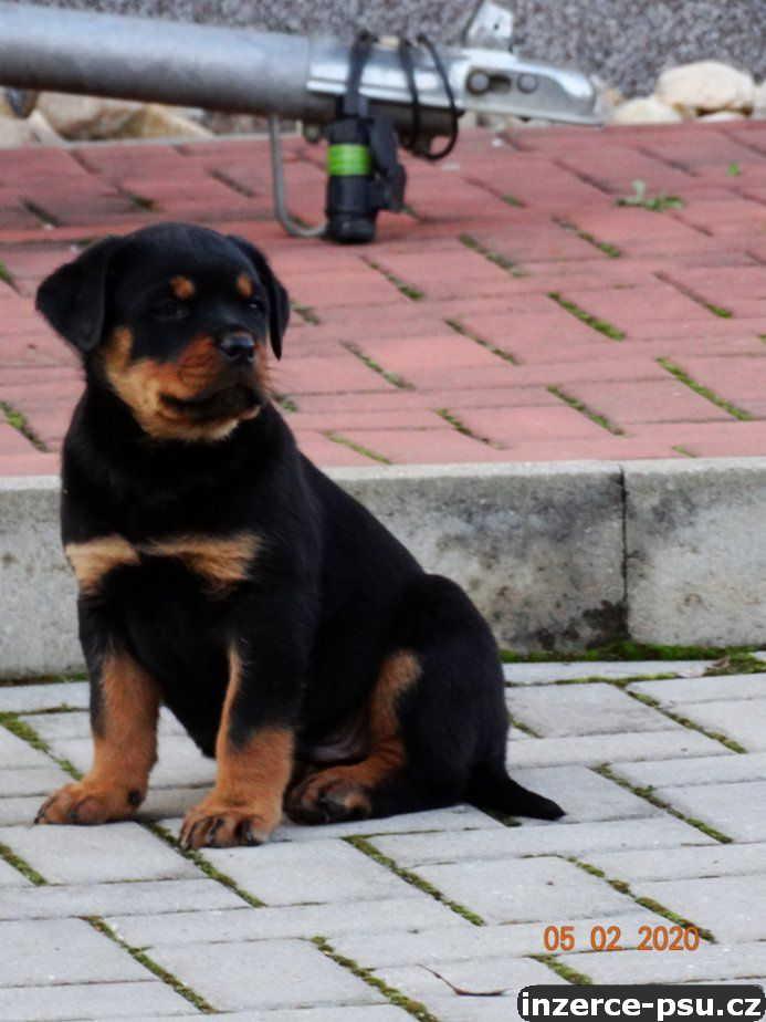 Prodám štěně rotvajlera s PP
