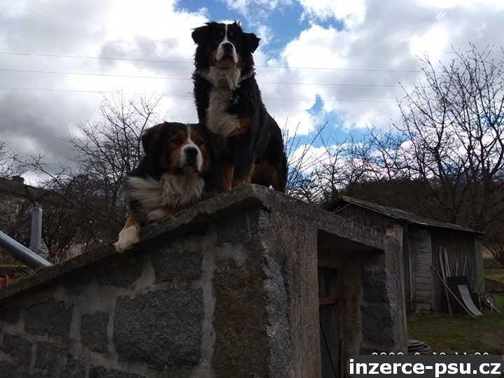 Prodám štěňátka Bernského salašnického psa