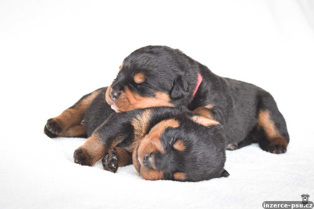 Štěňata rotvajlera s PP - Rottweiler štěně