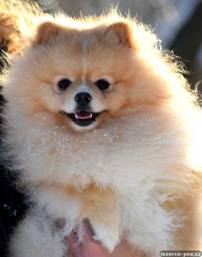 Pomeranian ke krytí