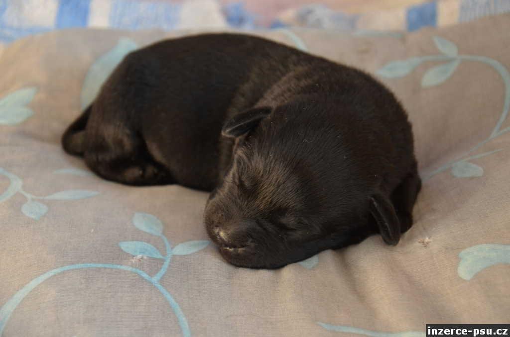Labradorský retriever štěně fenka