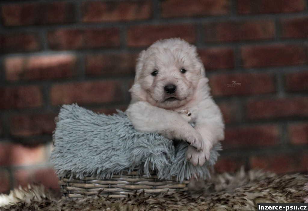 Maremmánsko Abruzský pastevecký pes