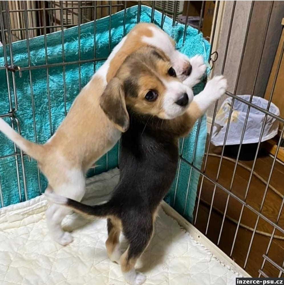 Štěně beagle s PP