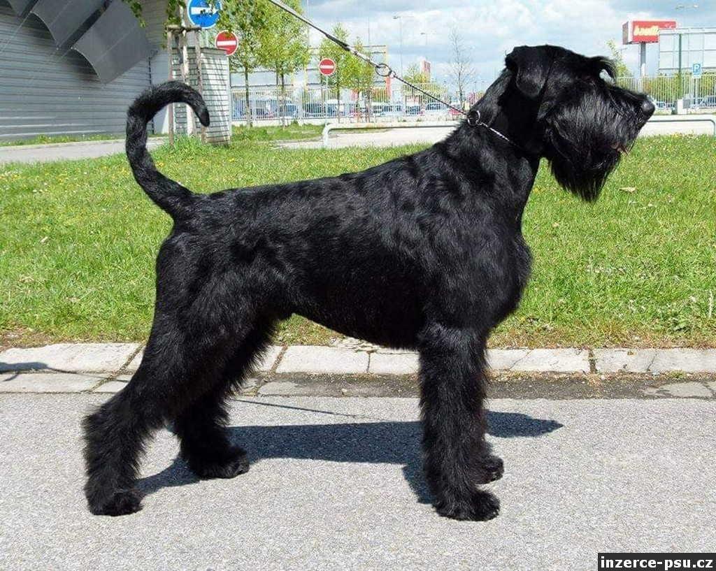 Knírač velký černý - štěn.s PP