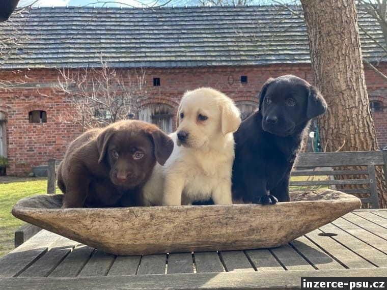 Labrador štěňata na prodej