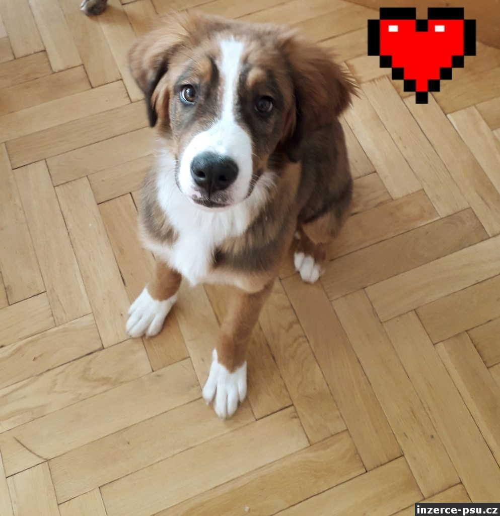 Bernsky salasnicky pes