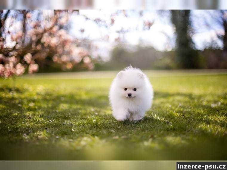 Německý špic pomeranian - štěně