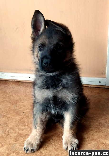 Německý ovčák, vlkošedý pes 10 týdnů s PP