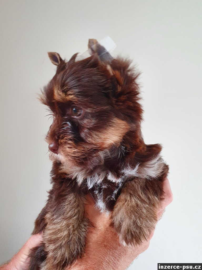 jorkšírský terier